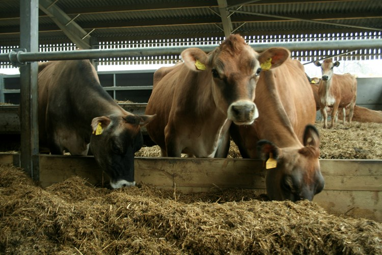 Neston Cows participating in the trial to reduce antibiotics