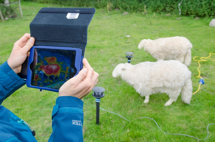 checking the temperature of sheep using tech