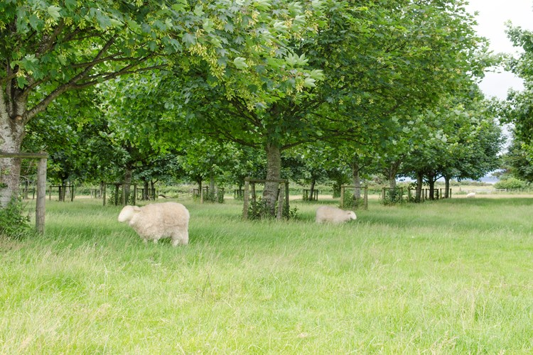 sheep resting underneath trees