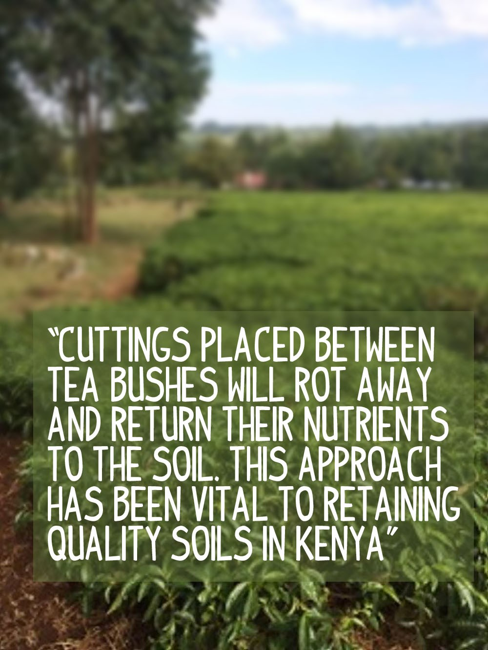 Placing cuttings around tea bushes are vital for maintaining soil quality