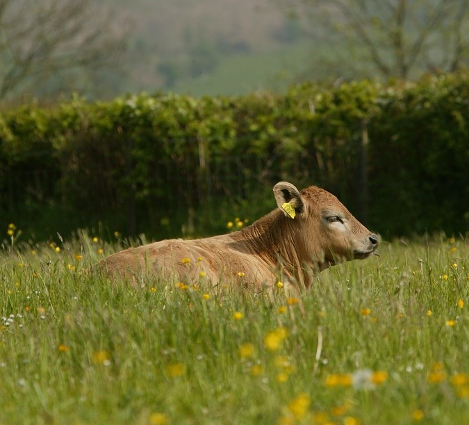 cow in the field dreaming