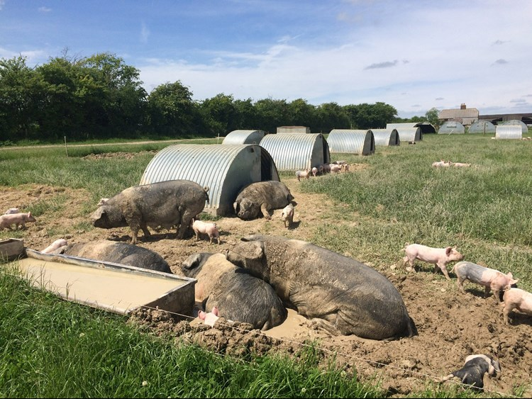Pigs in wallows at Helen's farm