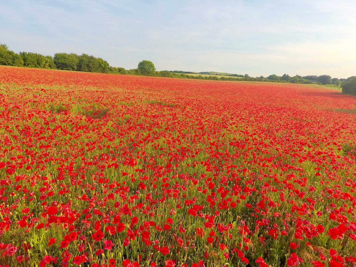 poppies-field-helensfarmimg_2253.jpg