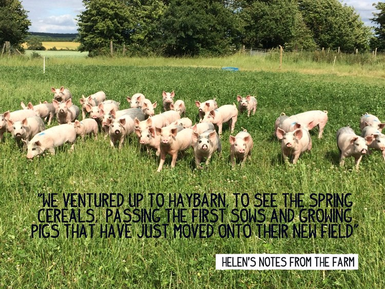 Pigs and clover on Helen's farm