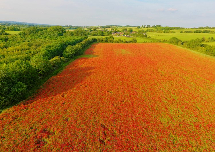 Poppies from the air