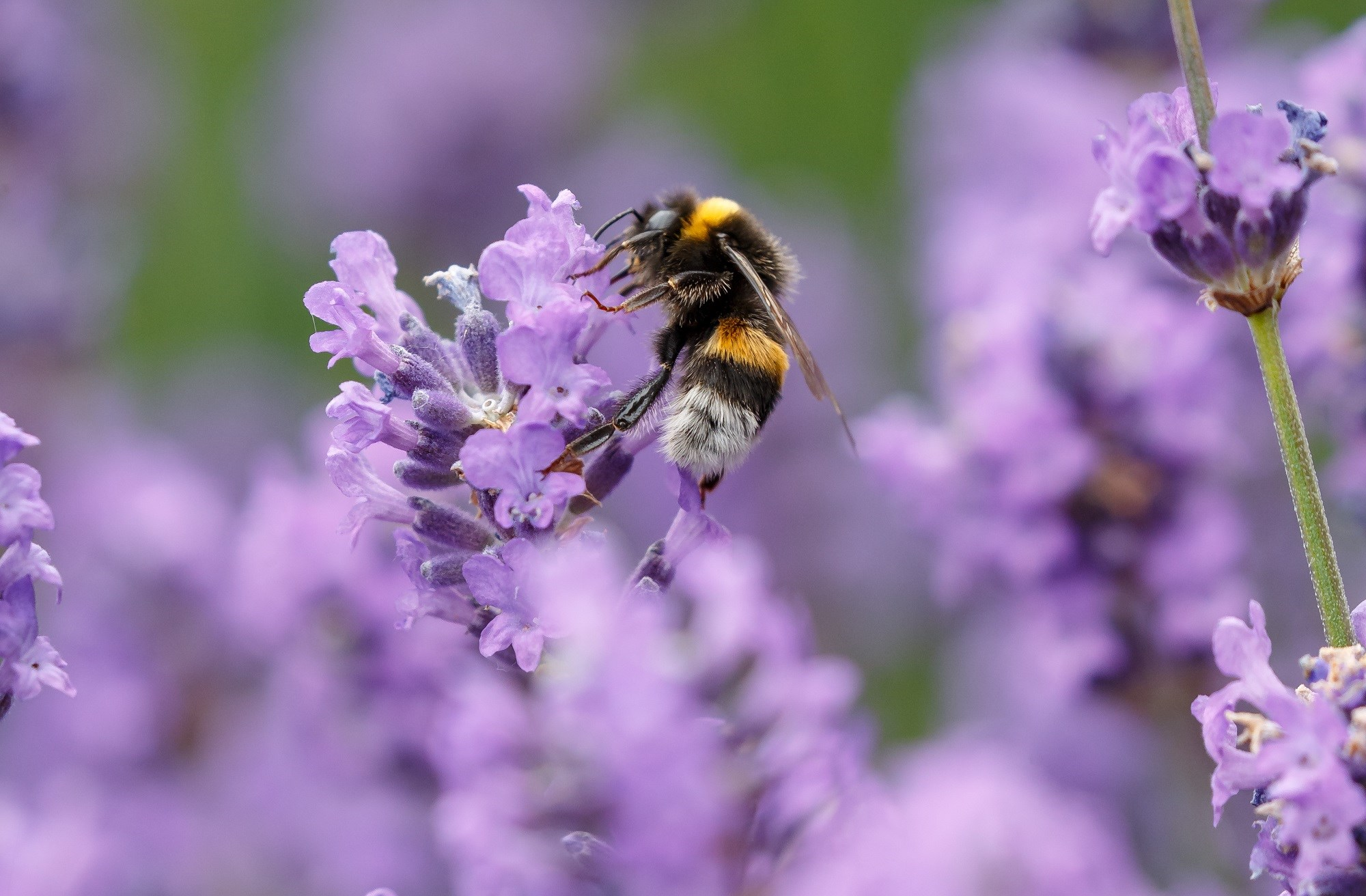 Glyphosate harmful to bees, new study finds