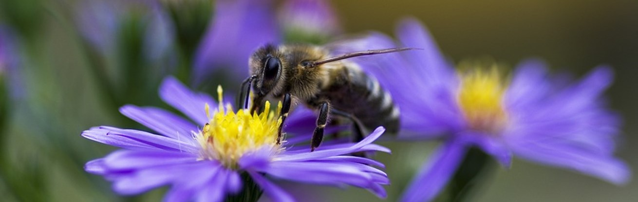 Purple-Autumn-Aster-Honey-Bee-Violet-Honeybee-Bee-960913.jpg