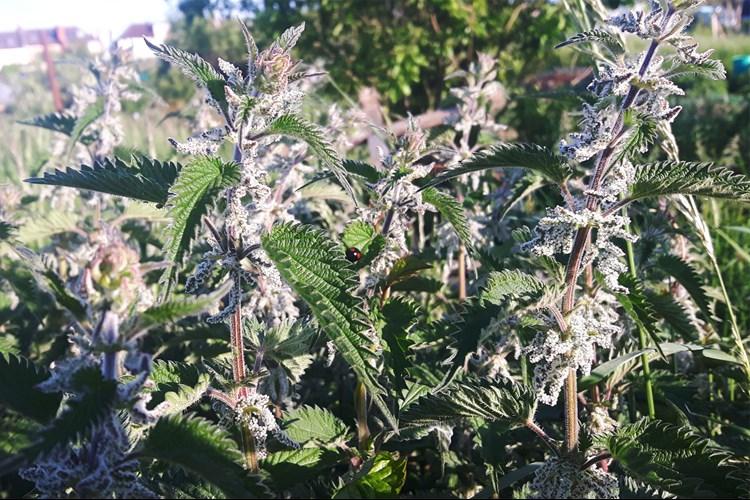 The UK's Top 7 Hedgerow Herbs