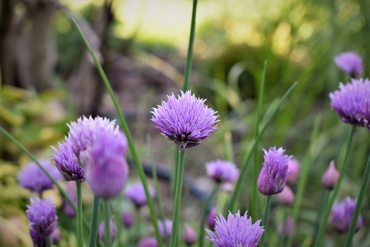 Organic chive flowers