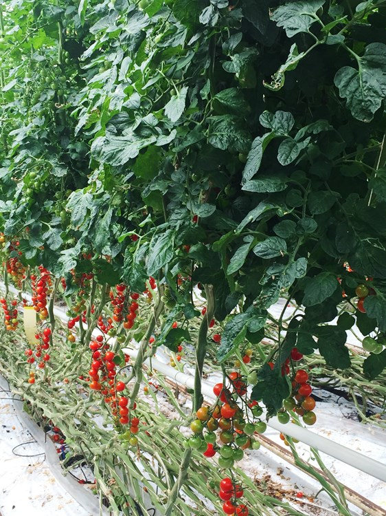 Growing British tomatoes