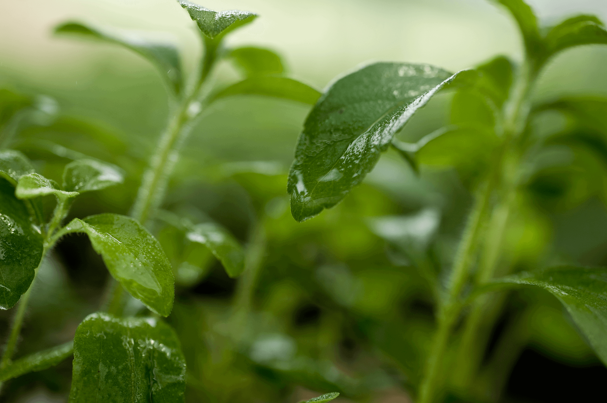 Certifying Products Containing Stevia