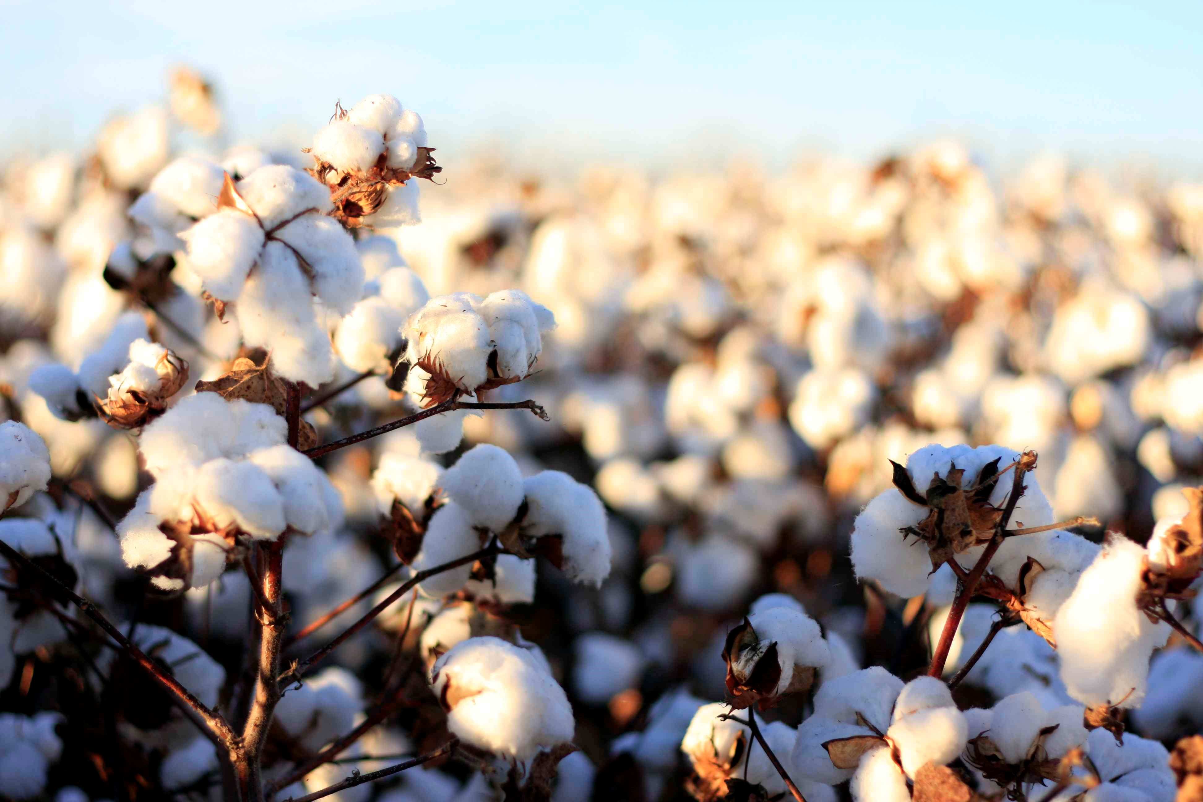 A Sustainable Future For Cotton