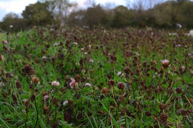 Cover Crops & Green Manures