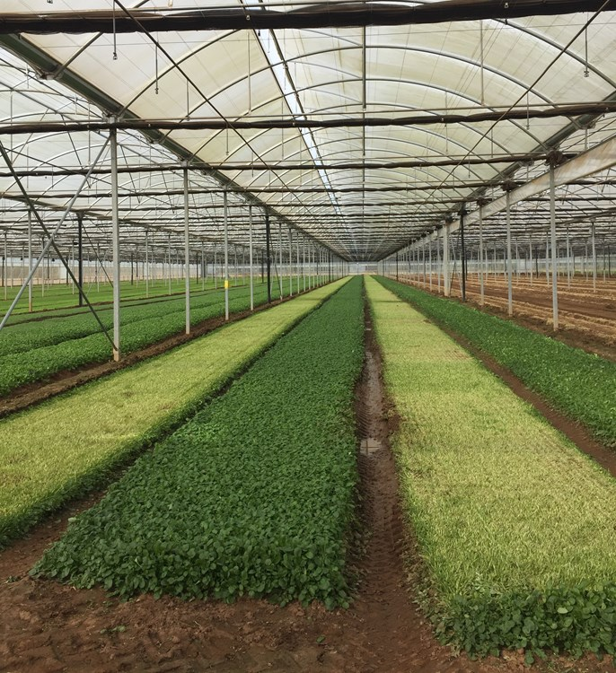 Large Scale Salad Farming