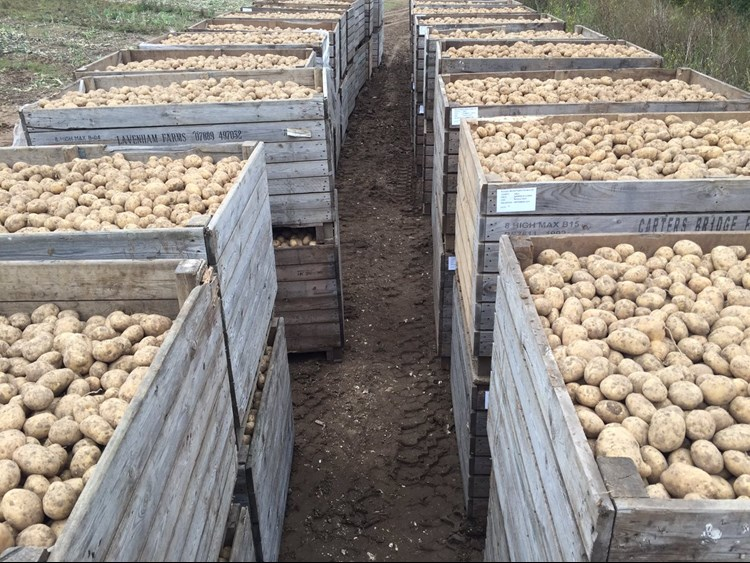 potatoes sorted into wooden pallets