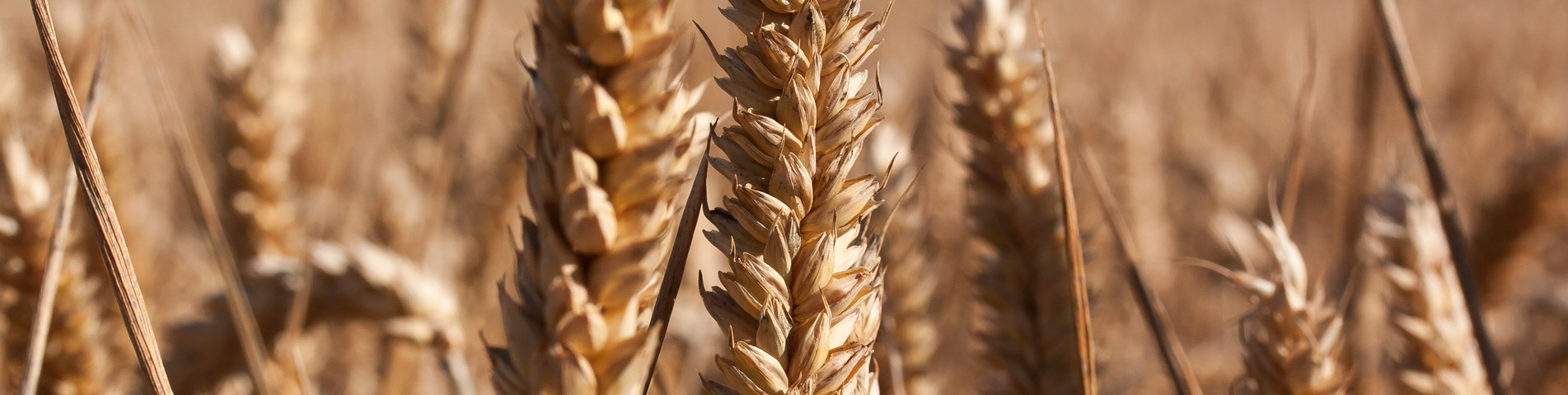 ear-cereals-infructescence-staple-food-162769.jpeg