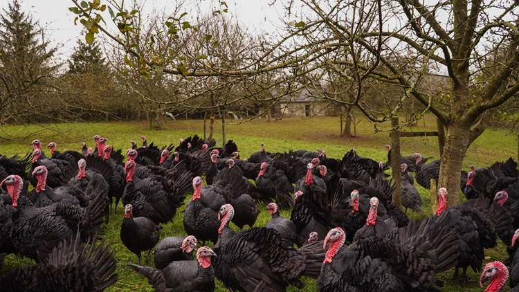 turkeys surrounded by trees