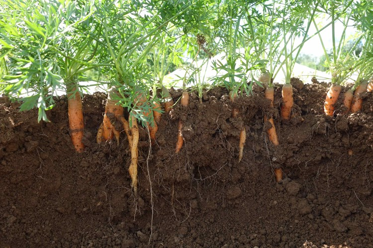 carrots in soil
