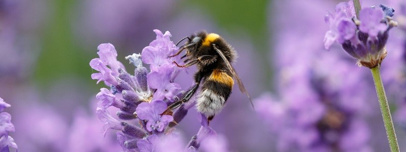 bee_and_lavendar-Crop.jpg