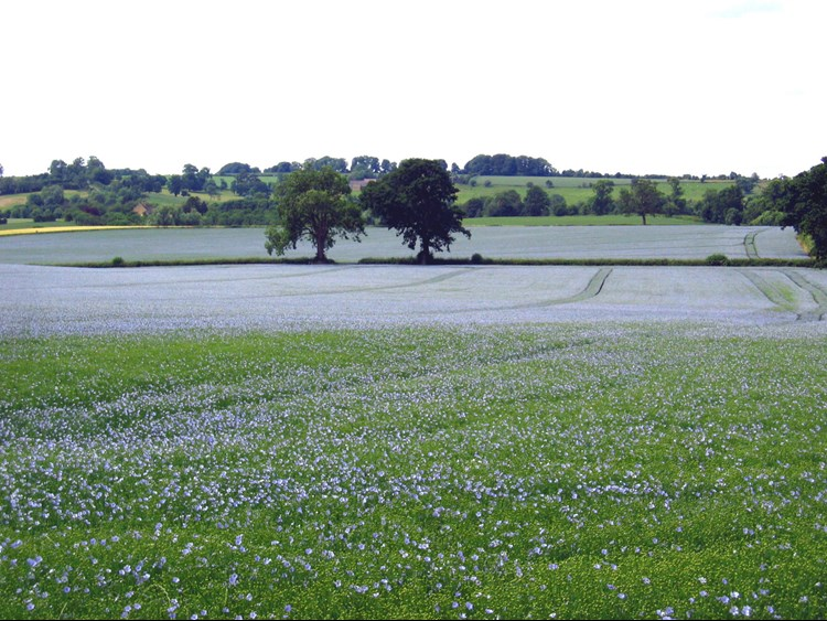 linseed growing in a field