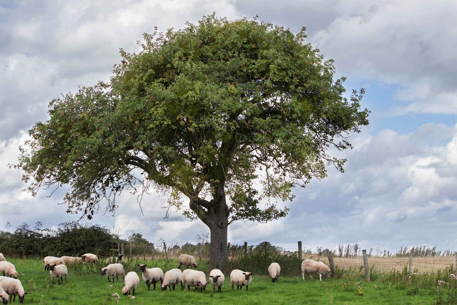 agroforestry with sheep