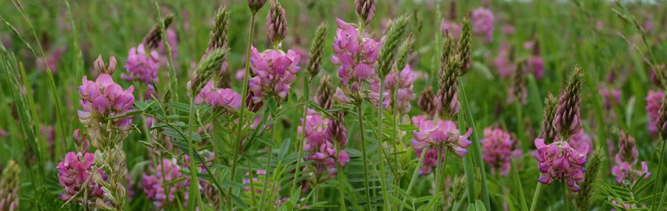 Why Sainfoin is known as 'holy hay'