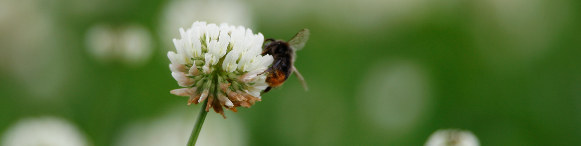 bee on clover from website Rhiannon Davis.png
