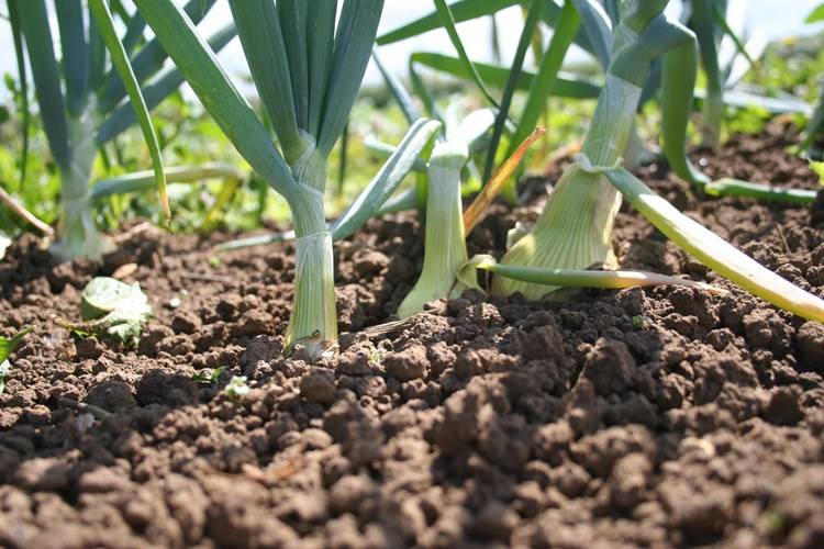 vegetables growing in soil
