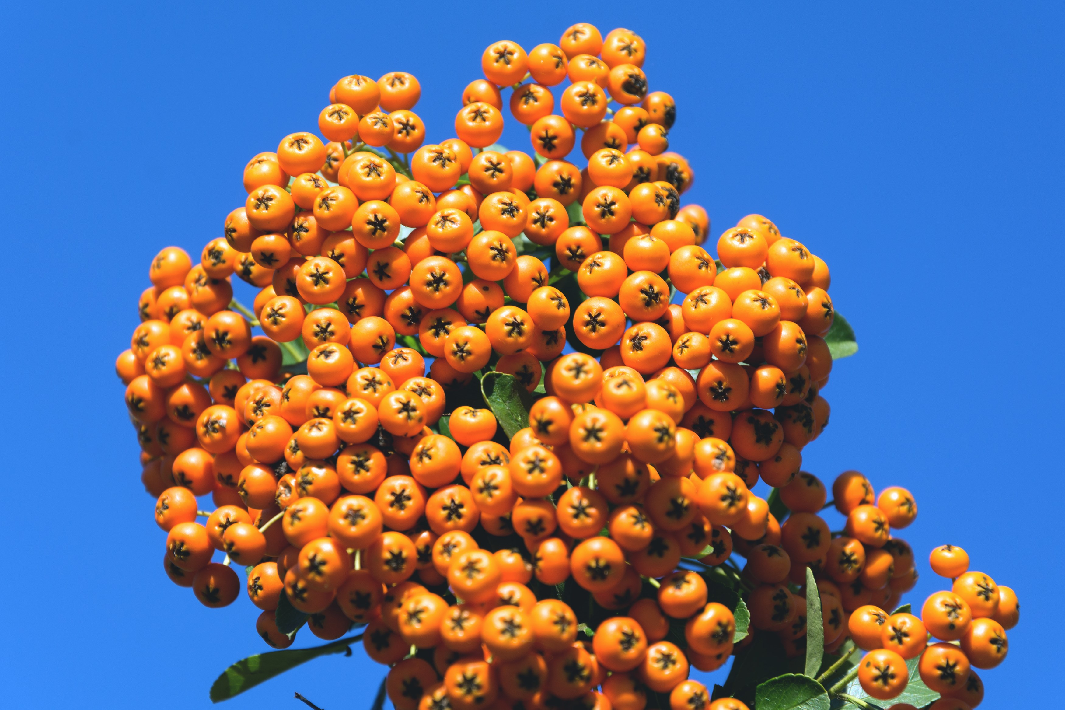 Common Sea Buckthorn.jpg