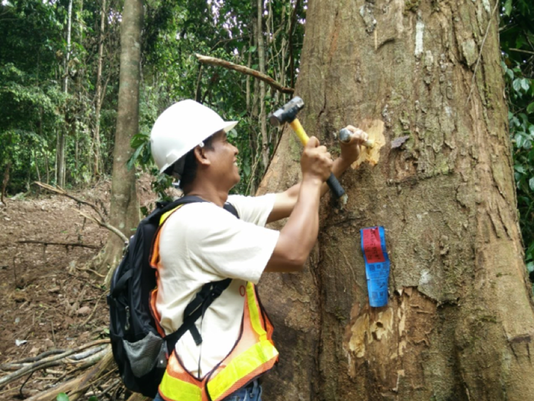 Forestry worker taking samples of timber in Borneo