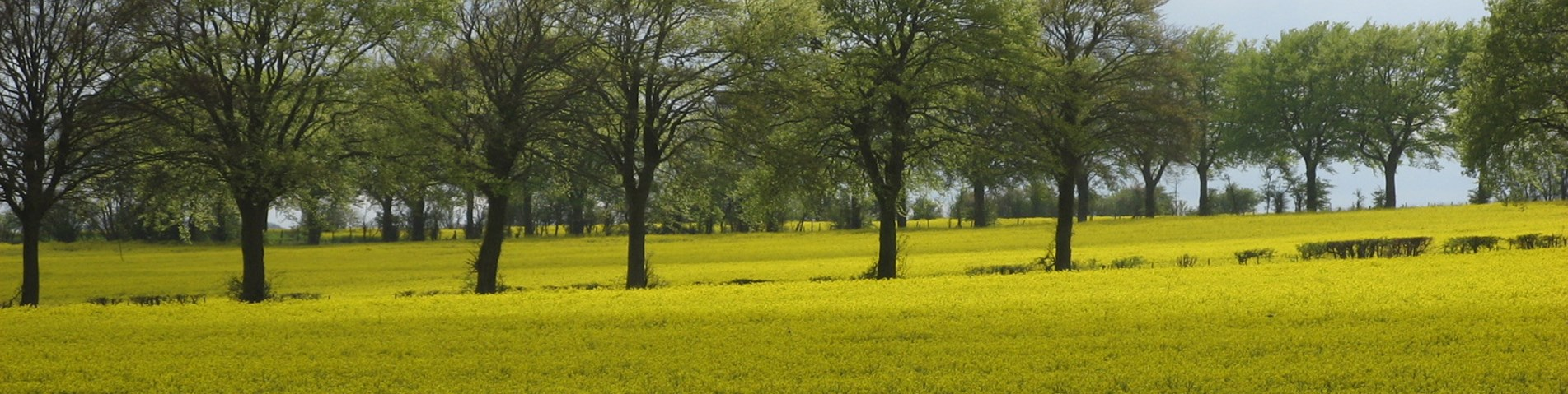 Fig 8b Trees in hedgerows surrounded by oilseed rape crop May 2012 Paul Burgess copy.jpg