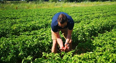 How to tackle potato blight in organic farming