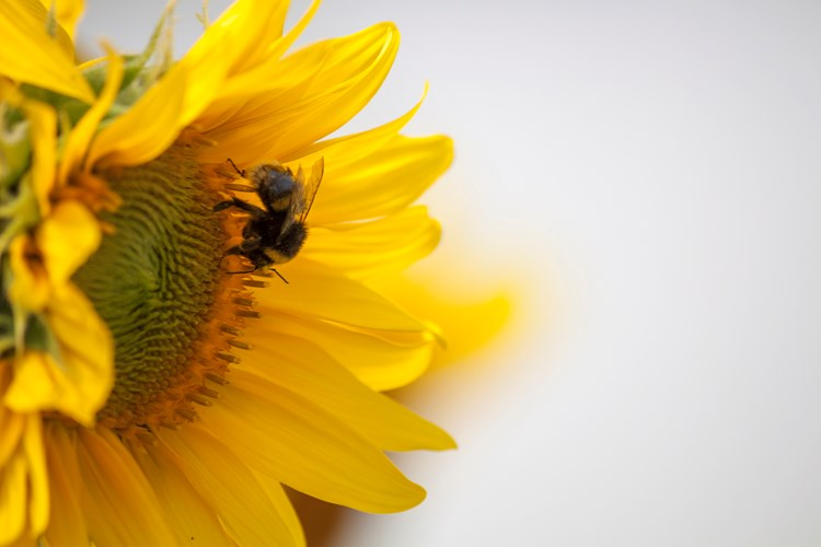 A bee on a sunflower against a white background