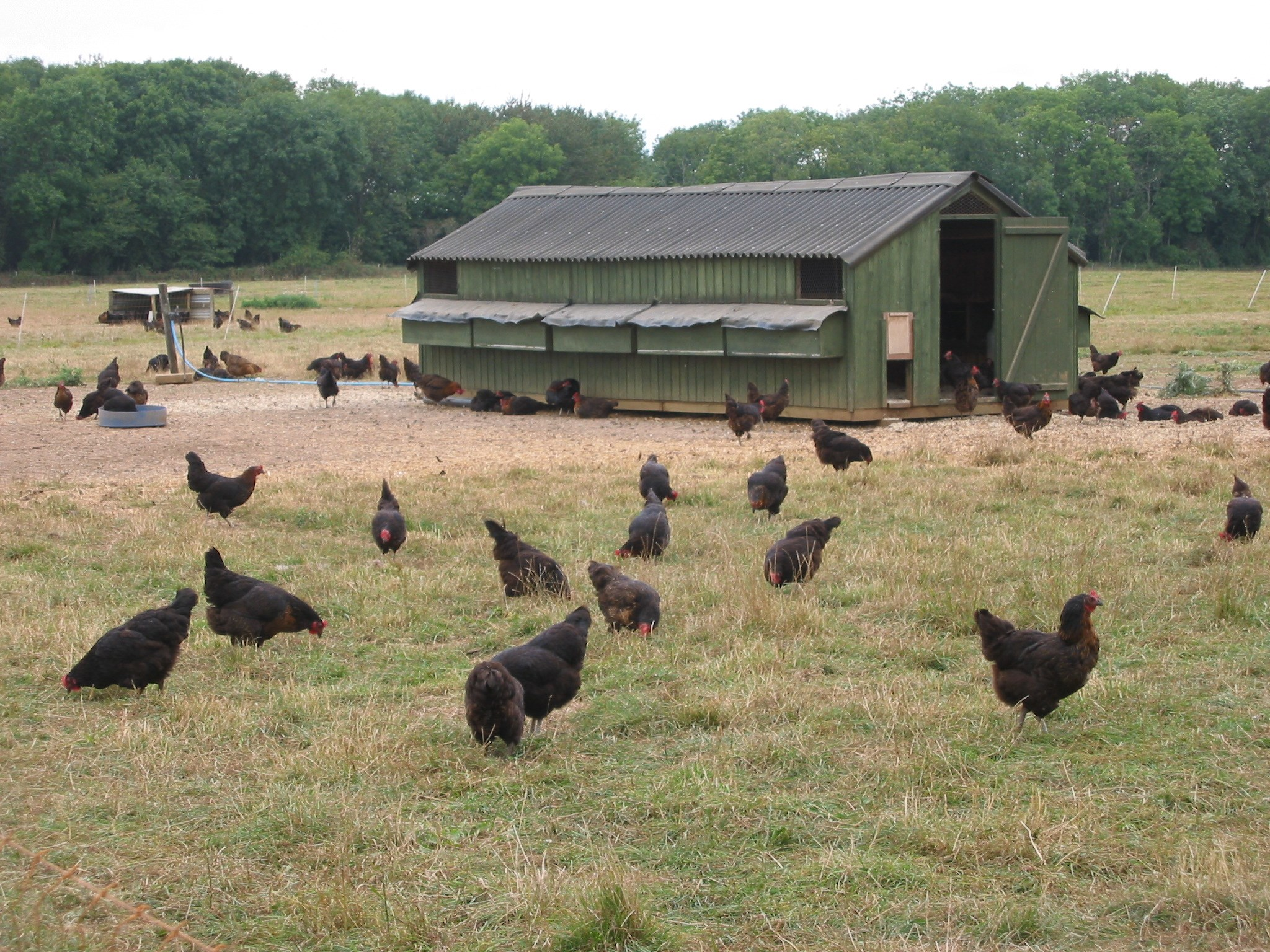 hens ranging with house.JPG