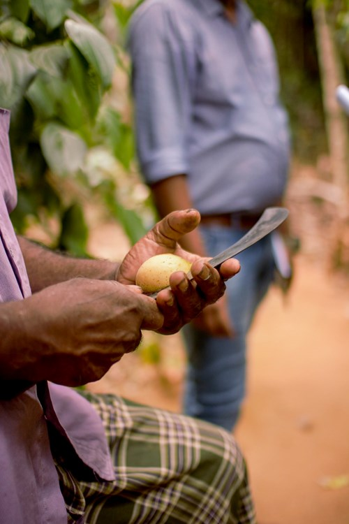 A man holding a nutmeg seed and slicing through it with a curved knife in Sri Lanka