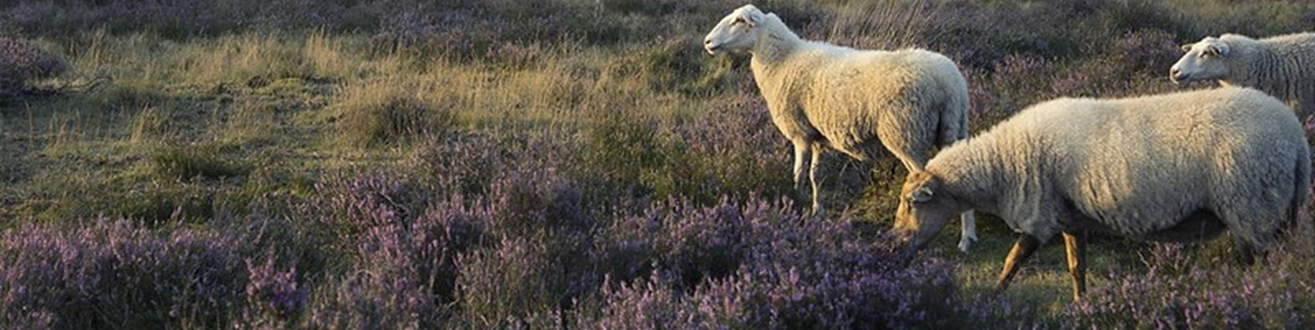Sheep_heather_Flickr_RPID.jpg