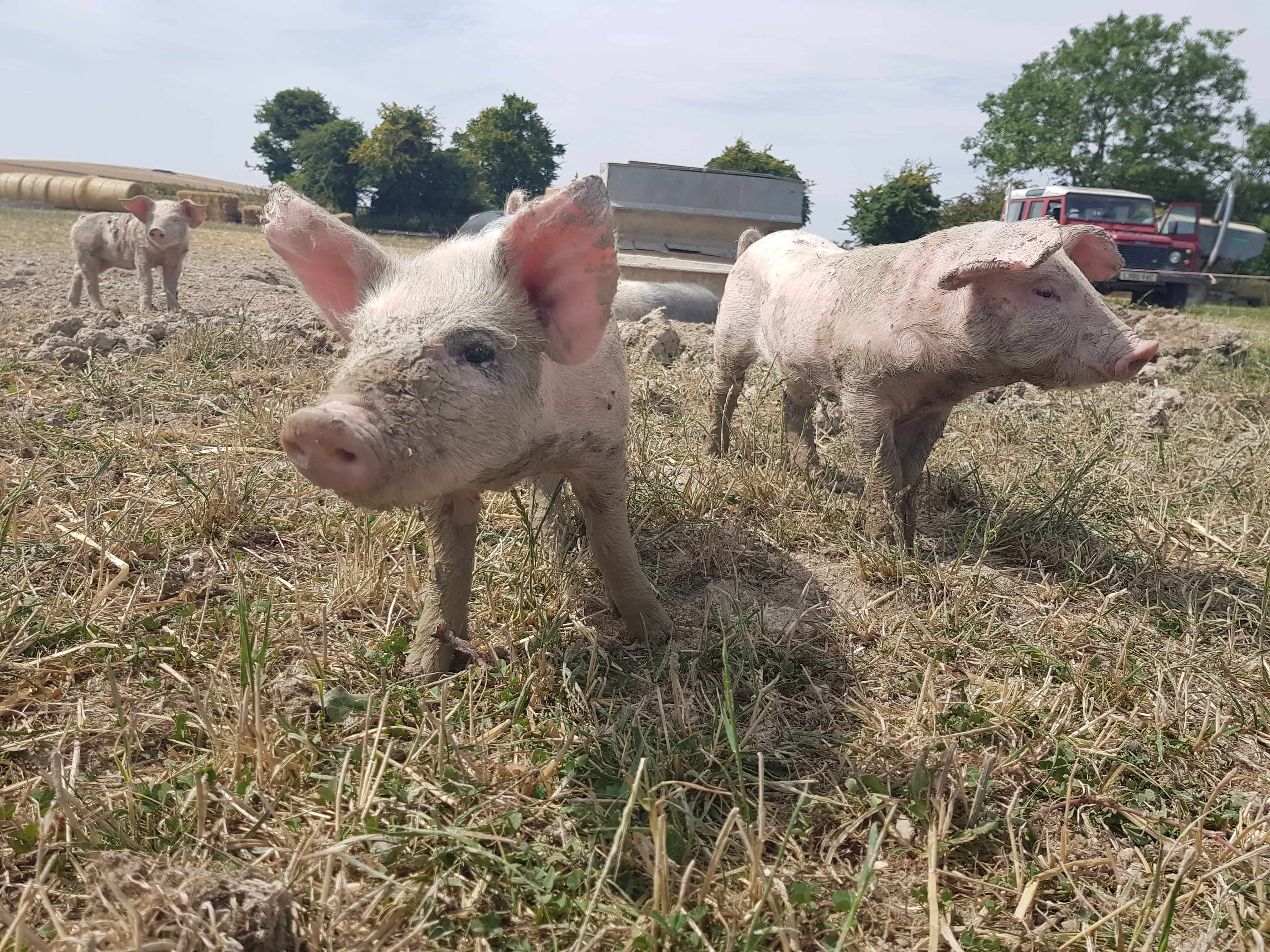 pigs on an organic farm