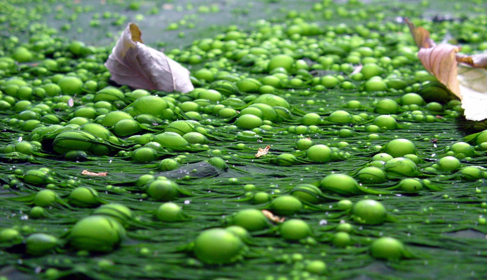 Eutrophication water