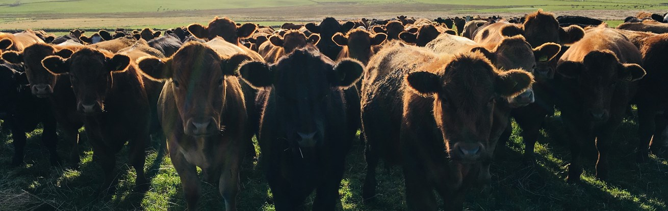 How to start mob grazing