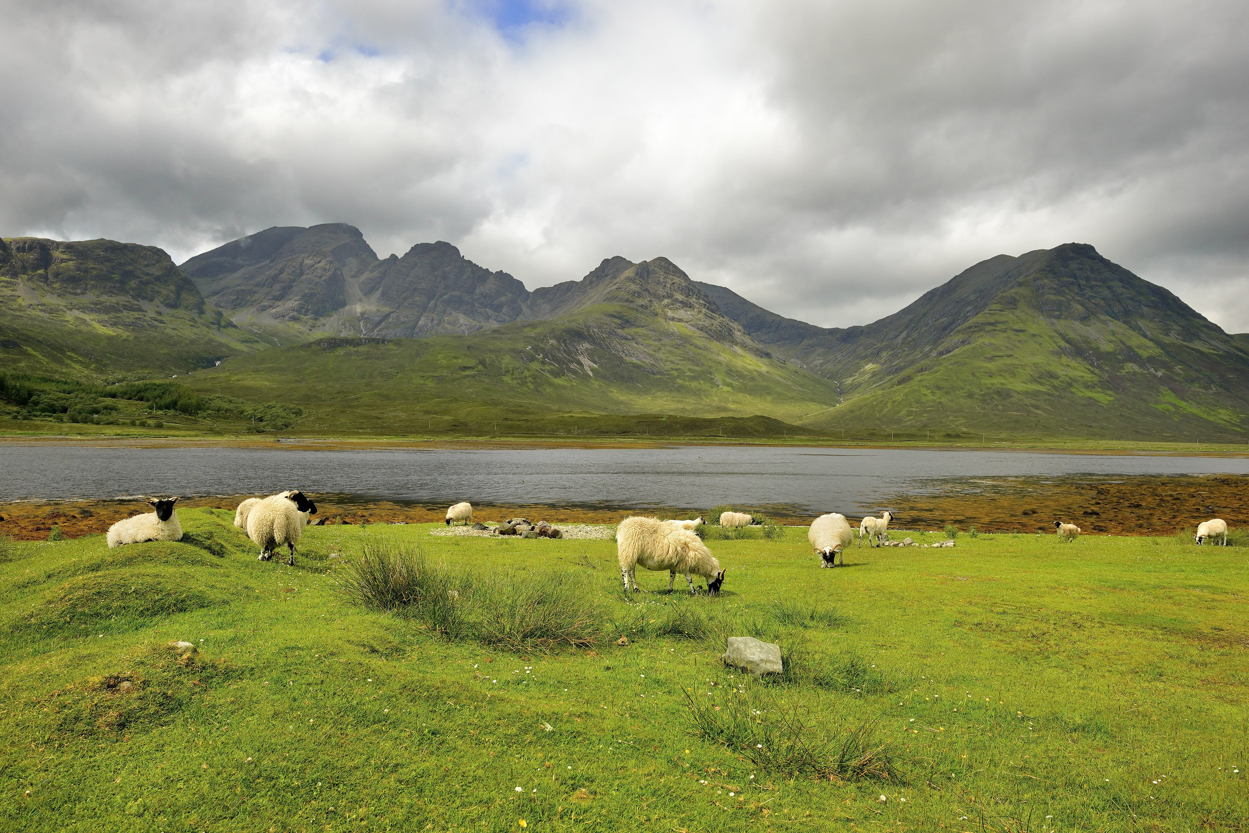 Flock of sheep 2 at Elgol w grass water and hills - Shutterstock.jpg