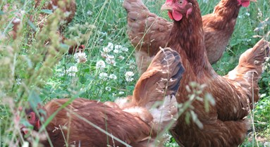 Preventing your hens from feather pecking