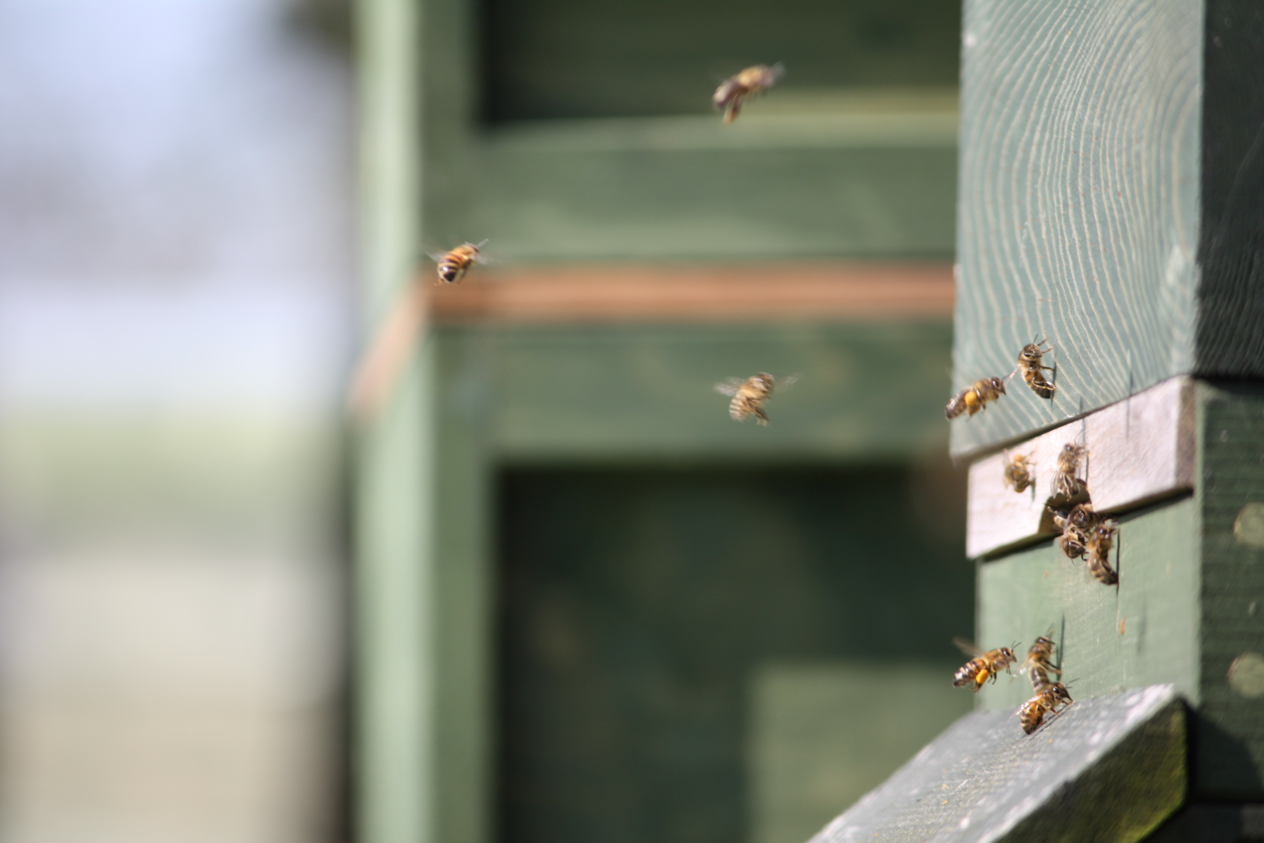 Bees in flight around hive