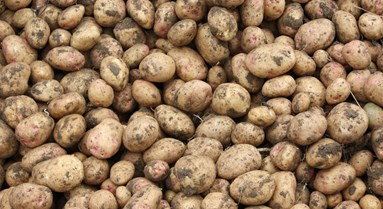 Potato blight control without copper 2021
