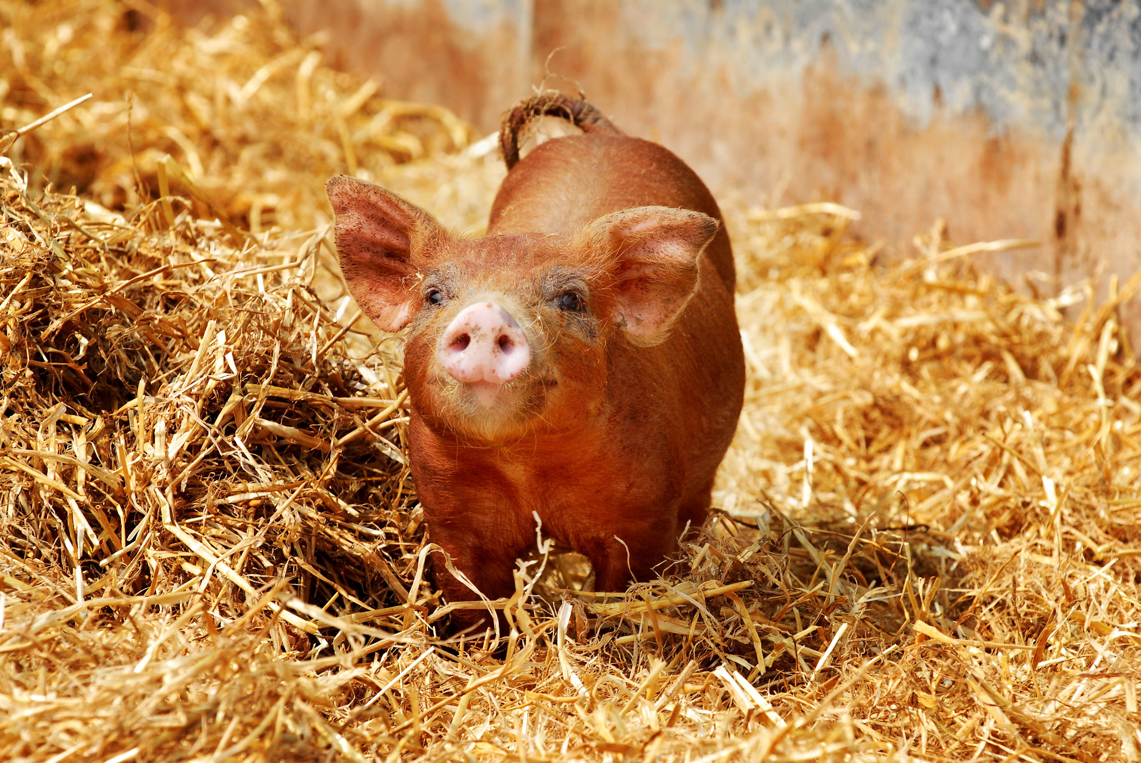 Cute piglet on golden straw