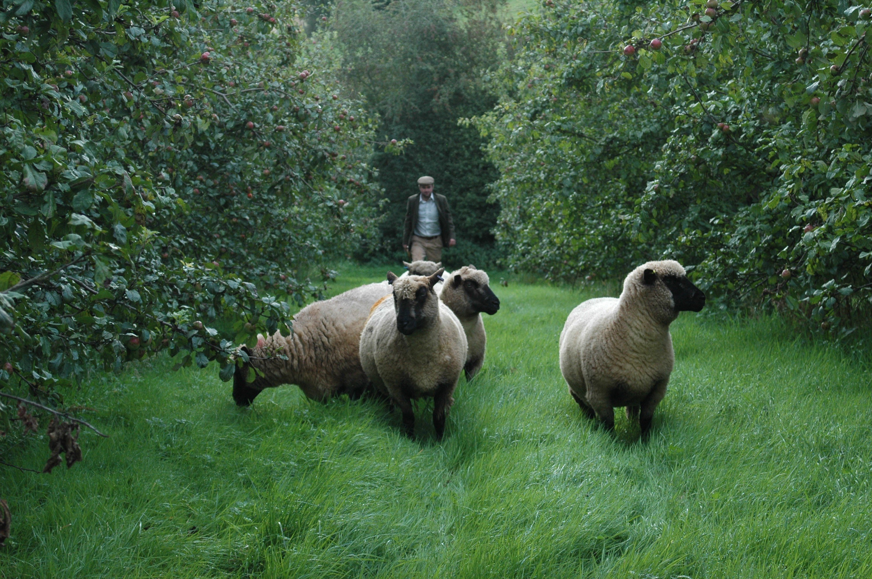 Sheep in orchards