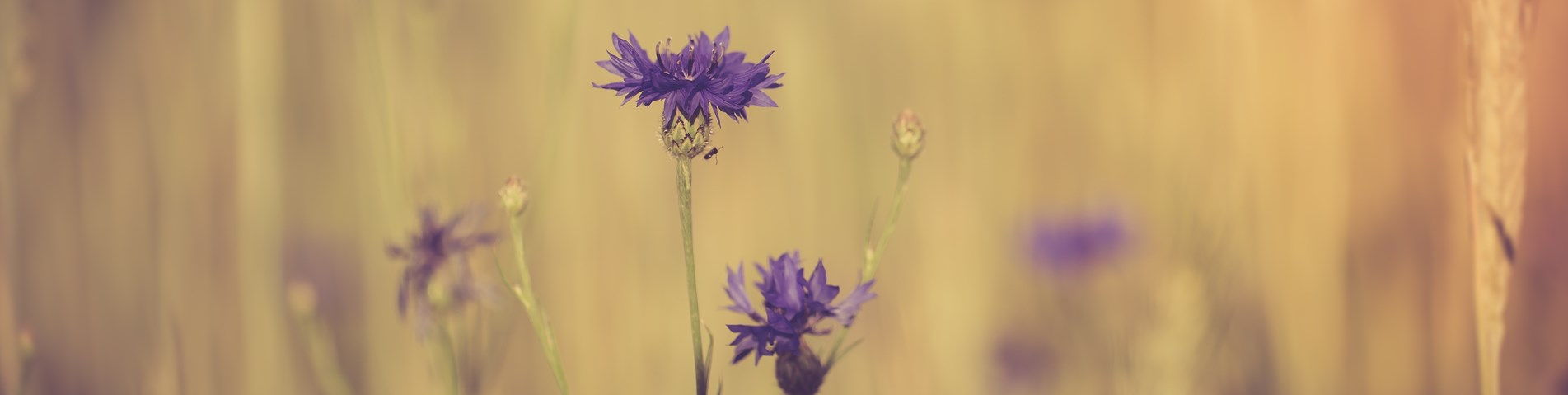 Abstract cornflower.jpg