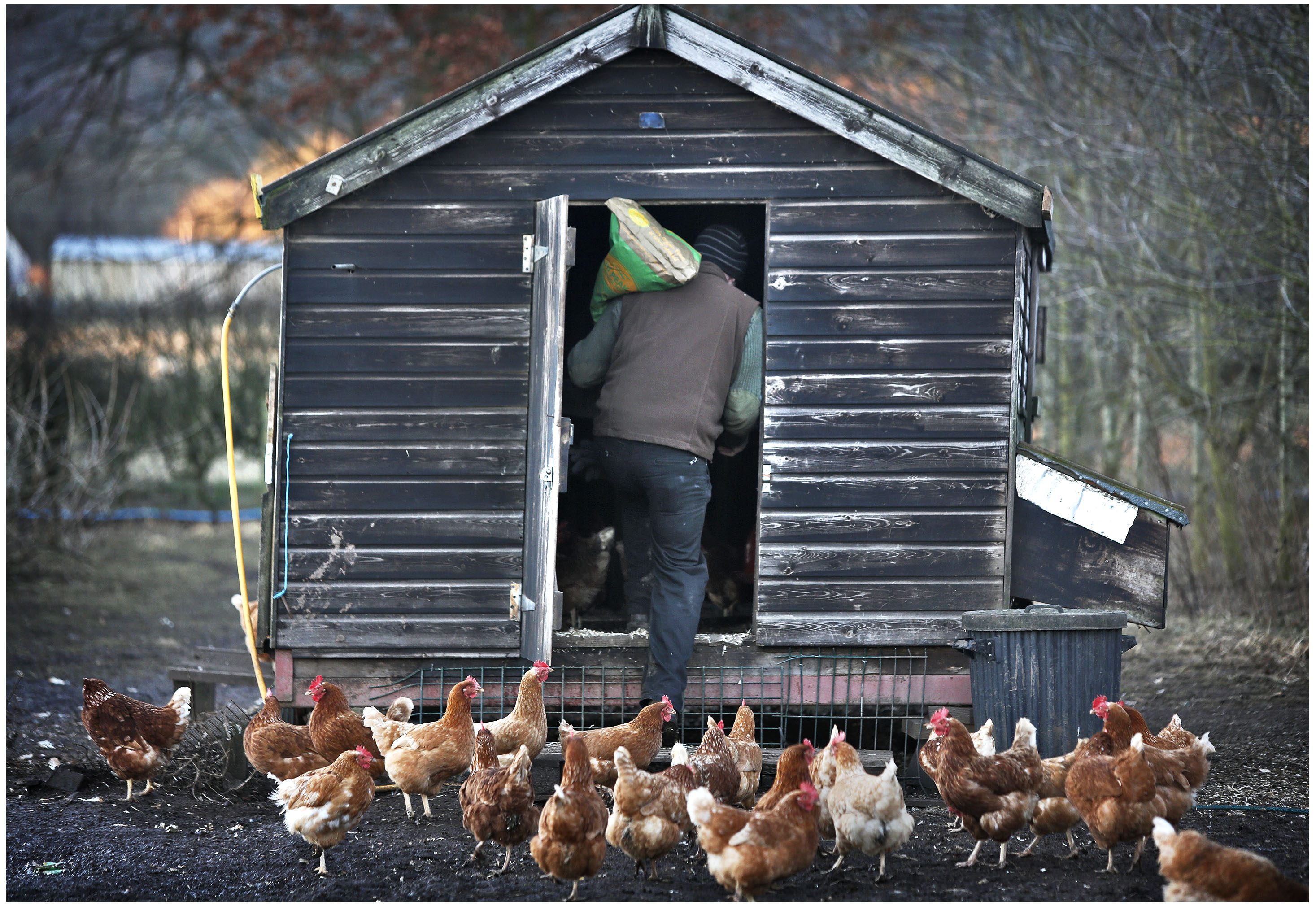 Organic farmer feeding his chickens in the morning