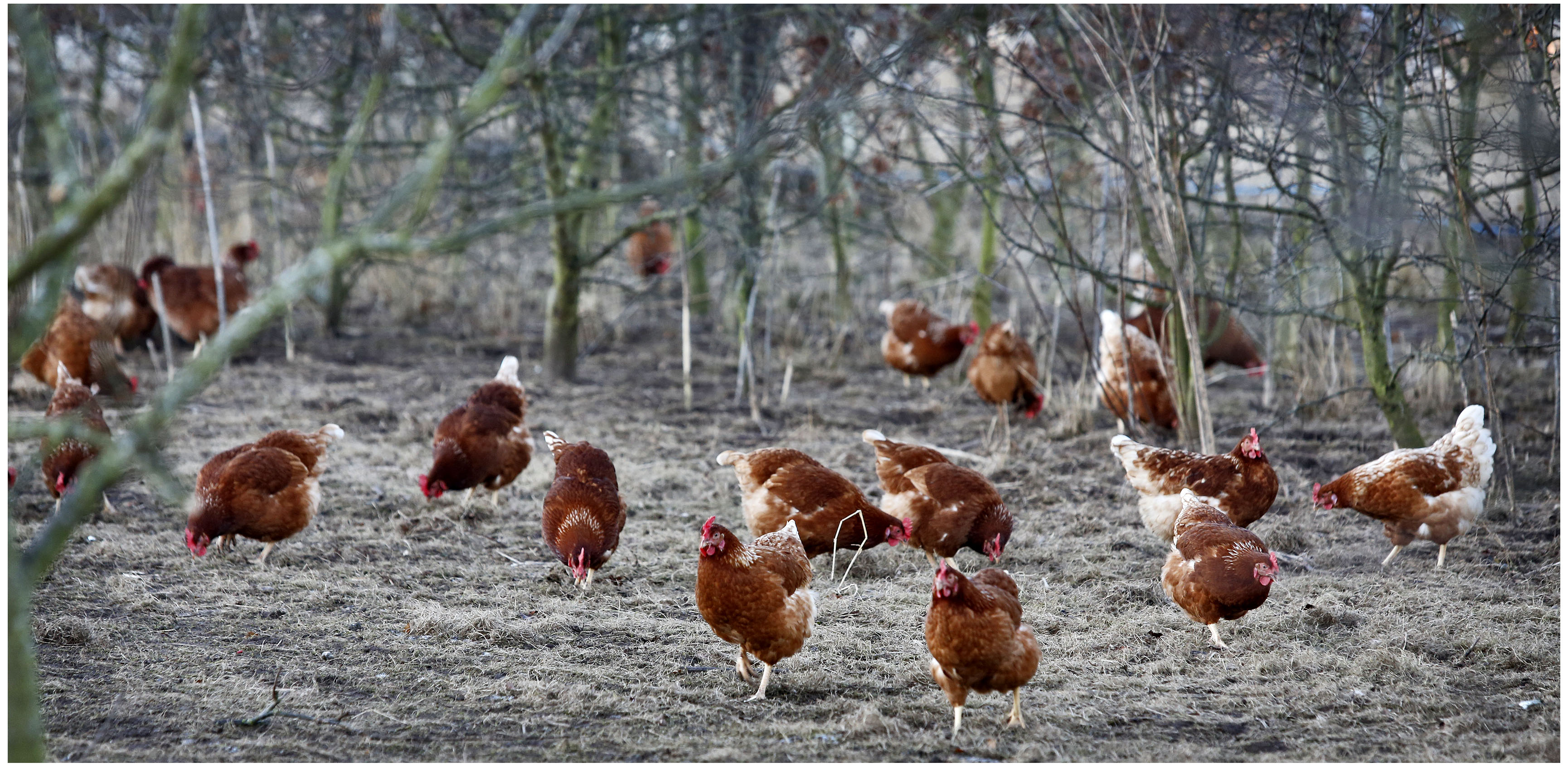Organic Poultry, Chickens & Eggs   Soil Association