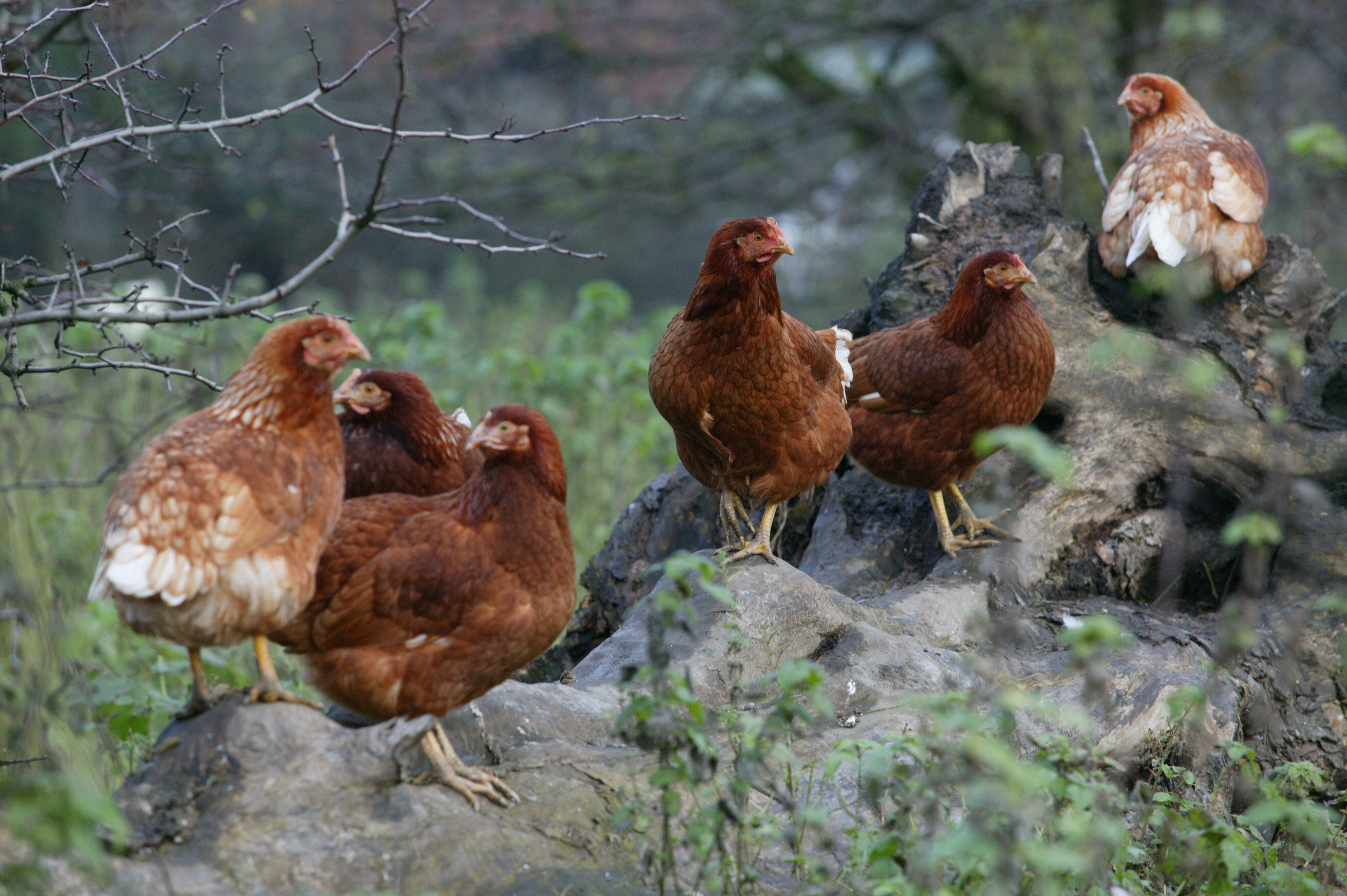 organic chickens perching on a rock on their range