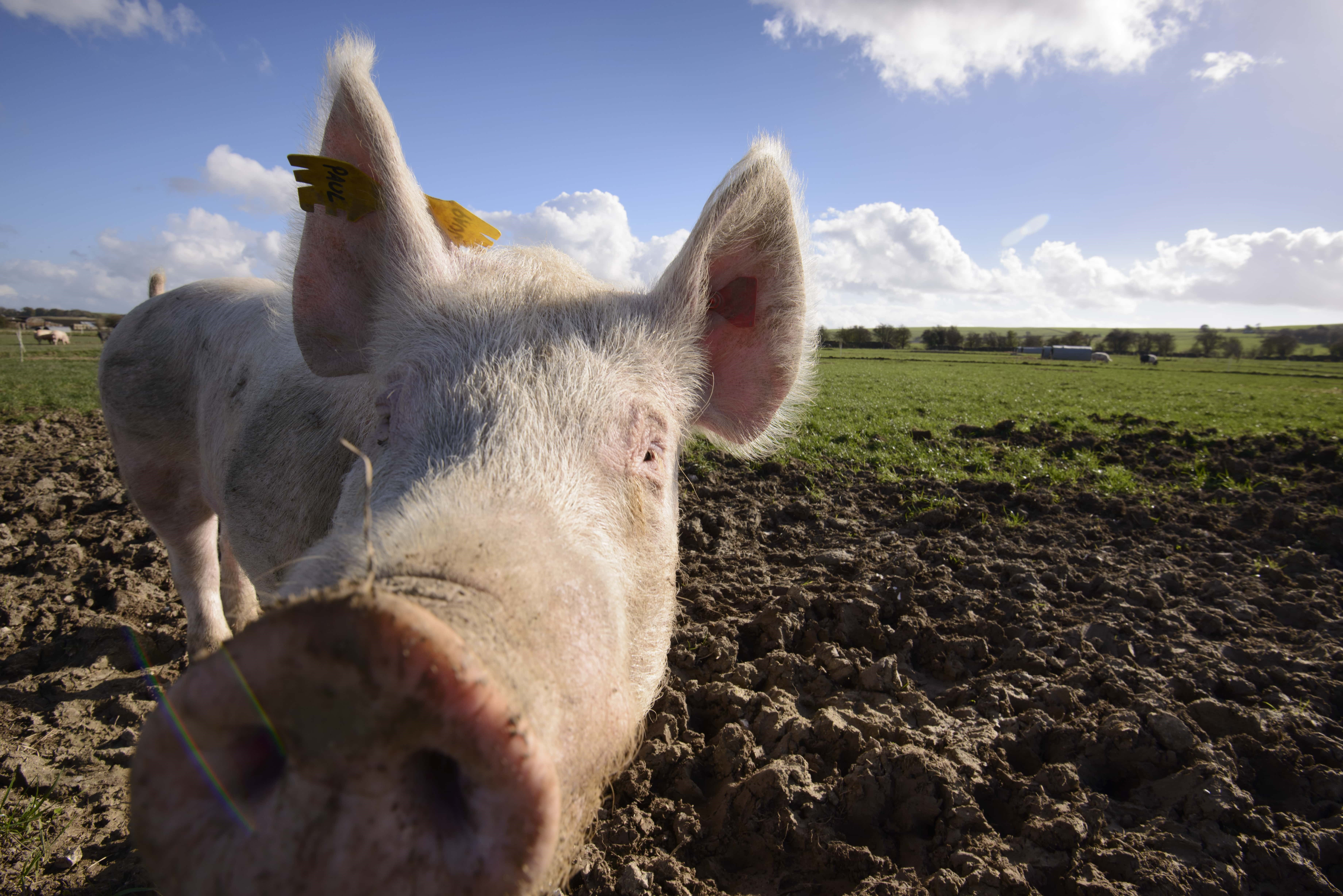 New electronic medicine book for pigs